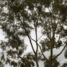 AIA Essential Oil of Eucalyptus camaldulensis Paper Robert S. Pappas &Sylla Sheppard-Hanger