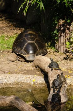 ♥ Pet Turtle ♥  Follow Me ... says the turtle mamma to her babies