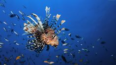 Lionfish Underwater Best Diving Sites 4k  #4k #aquaticecosystem #aquaticlife #Best #Diving #Lionfish #Nature #oceananimals #Photography #sealife #Sites #Underwater #underwaterphoto #wildlife  Lionfish Underwater Best Diving Sites 4k is an HD desktop wallpaper posted in our free image collection of nature wallpapers. You can download Lionfis...