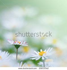 Madeliefje Stockfoto's, afbeeldingen & plaatjes   Shutterstock
