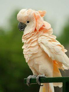 A beautiful Moluccan Cockatoo