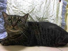 *** $268 PLEDGED*** NO EXCUSES BUT MAY NEED FOSTER!! SOMEONE STEP UP!! PAST DUE DATE BUT STILL THERE!! TO BE DESTROYED 7/3/14 ** SENIOR ALERT! Previous owner says: SHE IS AFRAID BY NATURE BUT SWEET. SHE'S IS QUIET AND HIDES UNTIL SHE IS COMFORTABLE. SHE LIKES TO SNUGGLE WITH YOU AT NIGHT ** Manhattan Center  My name is MOLLY. My Animal ID # is A1004000. I am a spayed female blk tabby and white domestic sh mix. The shelter thinks I am about 11 YEARS old.  I came in the shelter as a OWNER SUR…