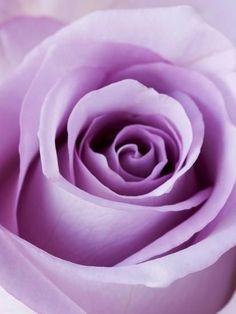 Lavender and Lilac, too Light Purple Rose Photographic Print Light Purple Flowers, Purple Love, Pastel Purple, All Things Purple, Shades Of Purple, Deep Purple, Magenta, Purple Lilac, Rose Flowers