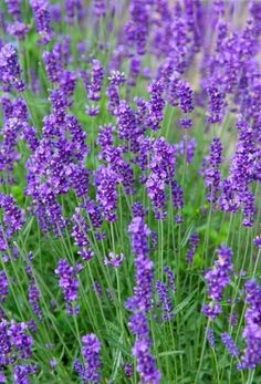 Lavender is slow to germinate but so lovely in the garden!  Potting some today.   Perennial Overview: Lavender