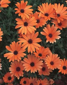 Orange Symphony Osteospermum from Proven Winners has beautiful orange daisy flowers that bloom all season. It is an excellent early spring and fall plant. This low-maintenance, award-winning annual does