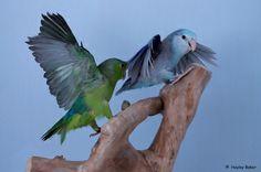 155 Best Parrotlets Images Parakeets Parrot Parrots