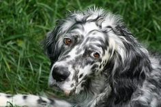 English Setter, Blue Belton