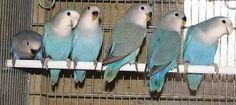 Family of Whitefaced Aqua - Courtesy Mr. Bird Poster, Opaline, Nature Wallpaper, Love Birds, Parrot, Aqua, Animals, Color, Canary Birds