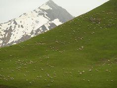 sheep near Gudauri.
