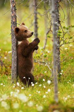 Grizzly cub bear