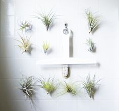 Suction cup succulents - Air Plants