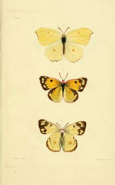 Descriptions and figures of some new lepidopterous insects, chiefly from Nepal  London :Longman, Brown, Green, and Longmans,1846