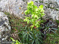 Helleborus foetidus. (marihuana de los tontos). El Torcal de Antequera.