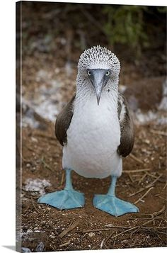 A blue footed booby looks at the camera