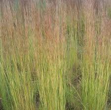 Hyparrhenia hirta - Google Search Grass Type, Grasses, Herbs, Google Search, Plants, Lawn, Grass, Herb, Planters