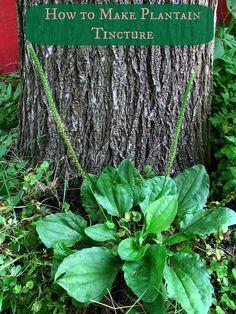 How to Make Plantain Tincture #BroadleafPlantain, #Plantain, #Tincture #NaturalMedicine