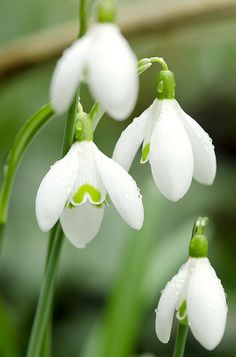 Signs of Spring by José Gieskes #Snow_Drops