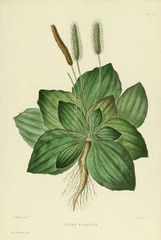 Plantago. Grand plantain. Atlas (1871) - Nouvelle iconographie fourragère. BHL
