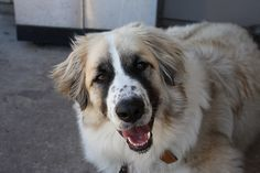 Anatolian Shepherd Pyrenees Mix | Recent Photos The Commons Getty Collection Galleries World Map App ...
