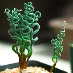 Cheap succulents plants, Buy Quality exotic plant directly from China seeds succulents Suppliers: 100 pcs Rare Sprial Grass Flower Seeds Succulents plant Grass seeds DIY bonsai Potted Garden Home Exotic Plant Interesting Crassula Succulent, Succulent Seeds, Cacti And Succulents, Planting Succulents, Planting Flowers, Hosta Plants, Flowering Plants, Foliage Plants, Perennial Plant