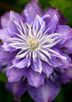 Beautiful purple clematis bloom