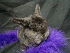 8 week old Mini lop bunny rabbits