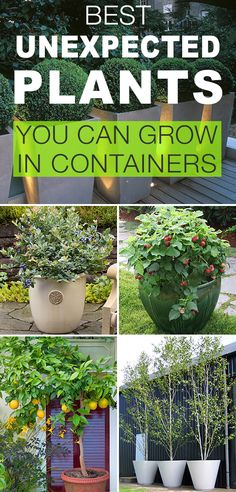 Best Unexpected Plants You Can Grow in Containers! • See how to plant boxwoods, trees, berries, watermelon, fruit trees and more in containers! Tutorials, tips and ideas!