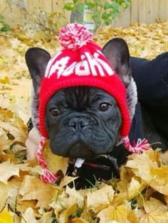 4128 Best Fabulous French Bulldogs images in 2019   French