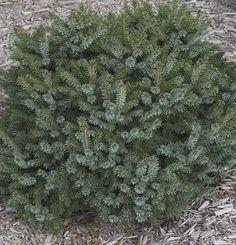 Dwarf Siberian Spruce (Picea omorika 'Nana')     Lowes-2014
