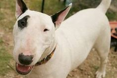 bull terrier - Google Search