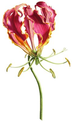 Botanical watercolor paintings by award winning artist, Denise Ramsay Botanical Flowers, Botanical Prints, Floral Prints, Watercolor Flowers, Watercolor Art, Gloriosa Lily, Lilies Drawing, Fruit Flowers, Botanical Drawings