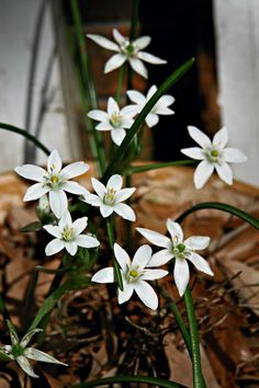 Star of Bethlehem. So that's what's growing in my yard every spring!