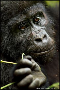 These eyes hold more wisdom then the average human gives credit for. Apes are intelligent creatures and more compassionate than most humans.