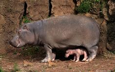 Hippos are great.