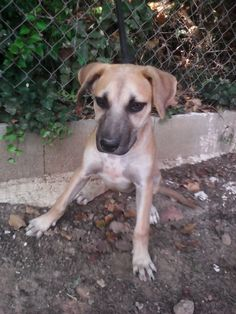 ¡ADOPTADO! LEA. Hermana de Gali. Cachorro de unos 2 meses de edad  Peso: 9,500 kg Tranquila pero juguetona.