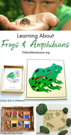 Ideas for a Frogs and Amphibians Unit for Montessori and preschool.  Links to printables, resources, and classroom ideas