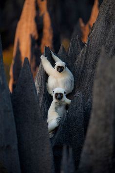 Africa | Madagascar Stone Forest with two leaping lemur / Decken's sifakas. |  ©…