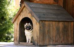 Pet parents who want to accommodate this craving for security of their dogs may be interested in knowing how to build a dog house as their next DIY project.