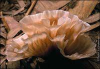 mushroom(s)