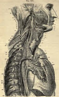 vintage medical anatomy illustration | Science | Anatomy, Human ...