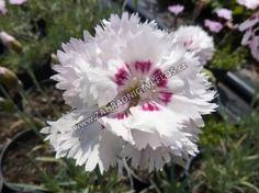 Dianthus plumarius 'Ine'