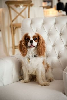 CKCS <3 Add a touch of elegance to your room with a beautiful Blenheim Cavalier!