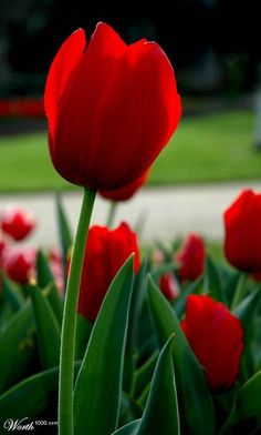 I am not into red for many things in my life...but a strong red tulip is simply gorgeous. For incredible tulips visit the Pacific Northwest!