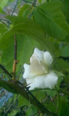White rose bush