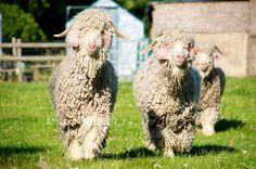 домашняя коза Автор фото: Graham Bancroft