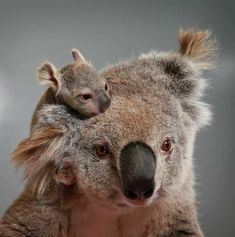 I've never seen a koala baby so small and so cute 💠Cute Funny Animals, Cute Baby Animals, Animals And Pets, Cute Creatures, Beautiful Creatures, Animals Beautiful, Australian Animals, Tier Fotos, Cute Animal Pictures