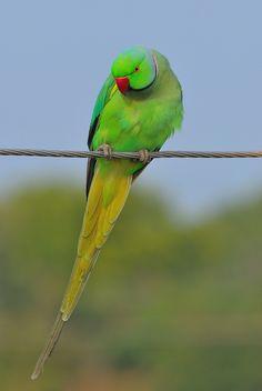 Green Parrot Bird, Parrot Pet, Cute Birds, Pretty Birds, Beautiful Birds, Alexandrine Parrot, Ring Necked Parakeet, Parrot Wallpaper, Cutest Animals