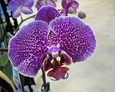 Moth-Orchid: Phalaenopsis, by njchow82, via Flickr
