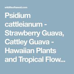 Psidium cattleianum - Strawberry Guava, Cattley Guava - Hawaiian Plants and Tropical Flowers Hawaiian Plants, Tropical Flowers, Strawberry Guava