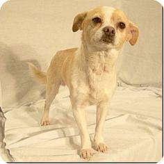 Columbia, TN - Chihuahua Mix. Meet Little Kahuna, a dog for adoption. http://www.adoptapet.com/pet/10484992-columbia-tennessee-chihuahua-mix